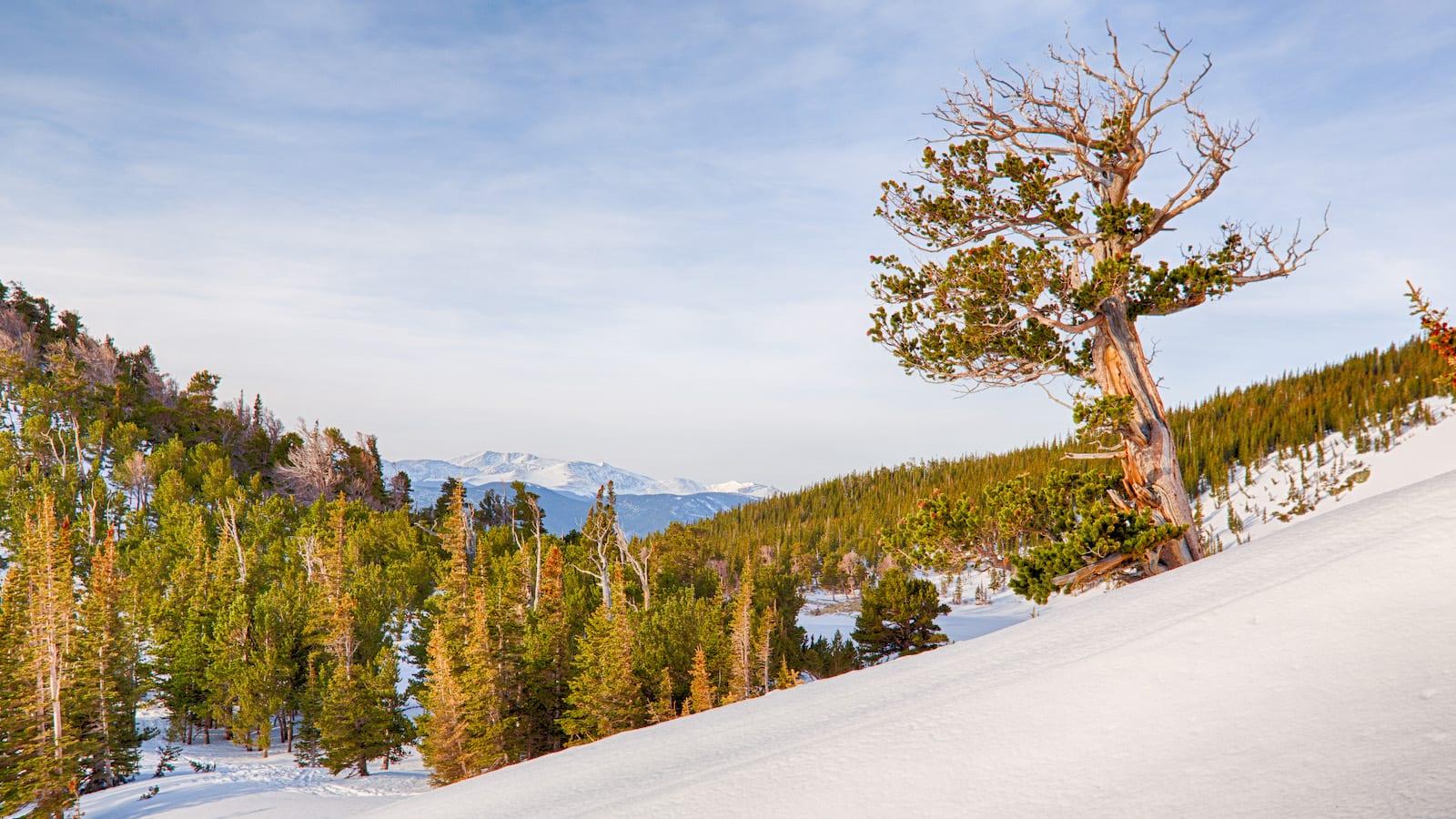 Bristlecone Pine, Colorado