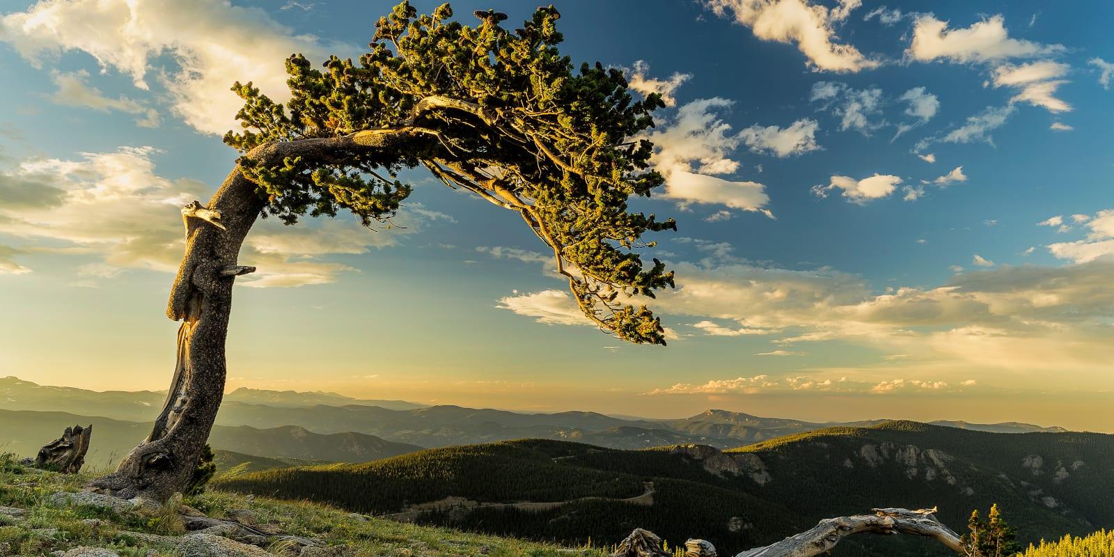 Bristlecone Pine Mt. Evans, Colorado
