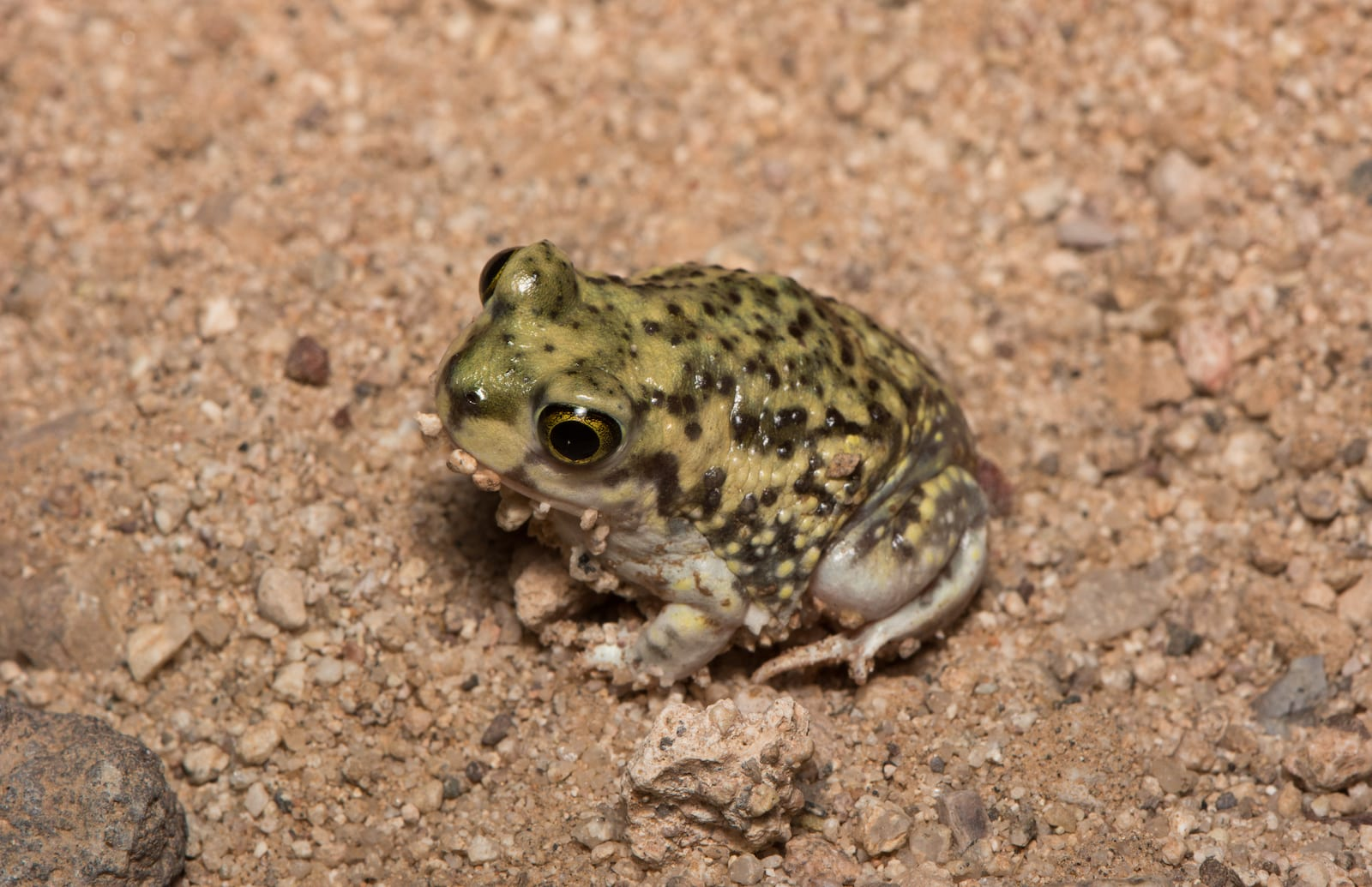 Couch's Spadefoot