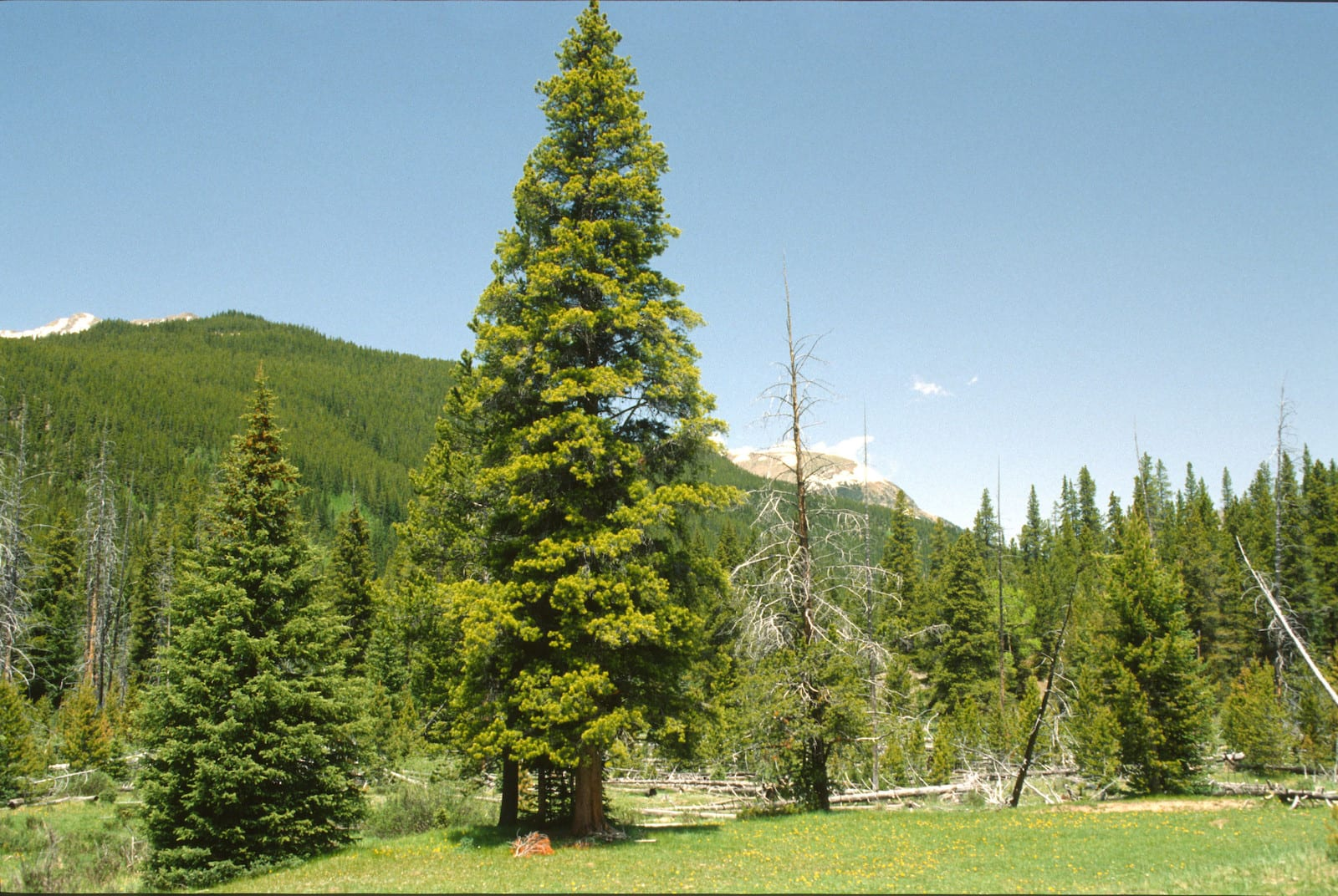 Douglas Fir Colorado
