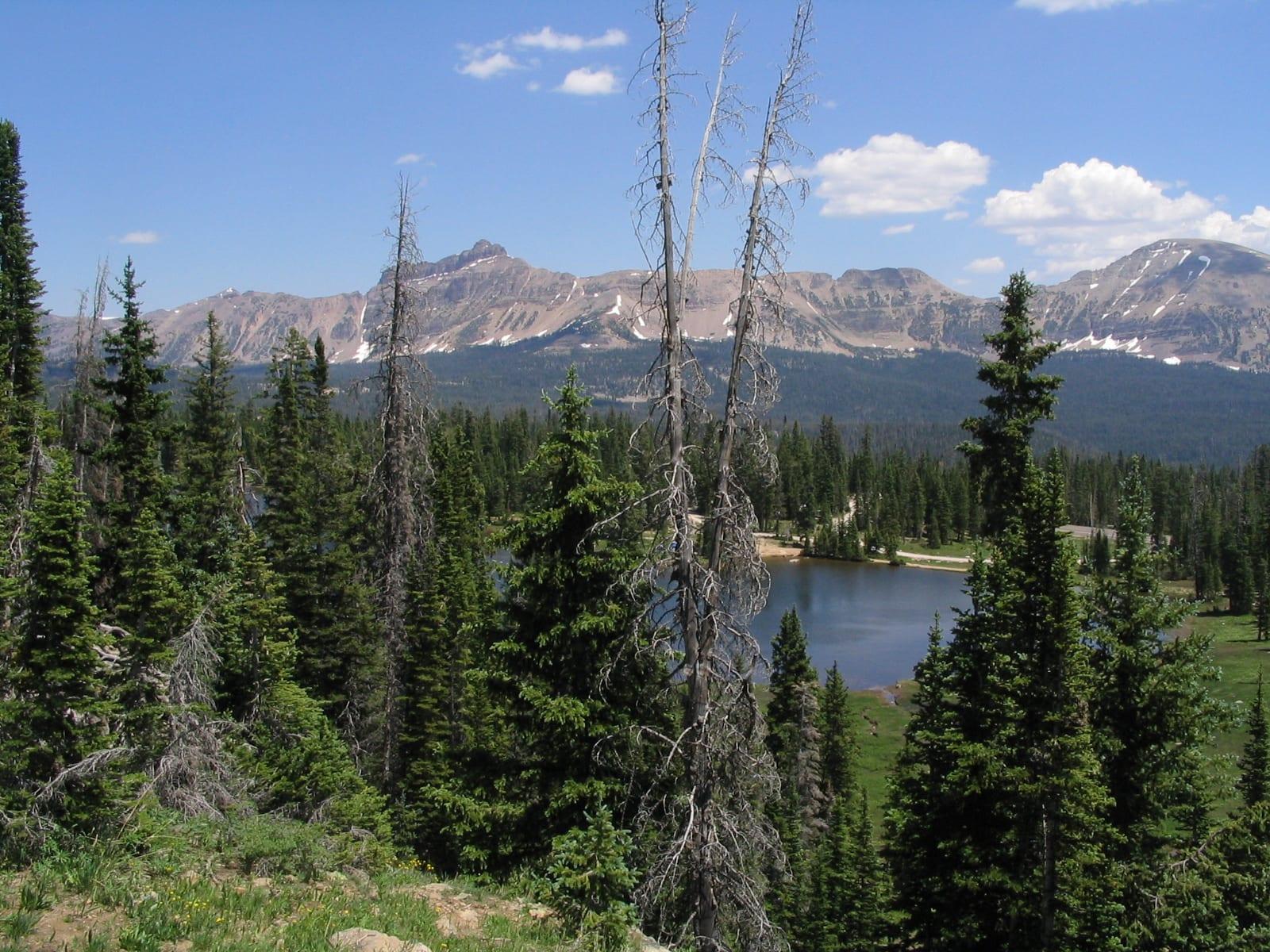 Engelmann Spruce, Colorado