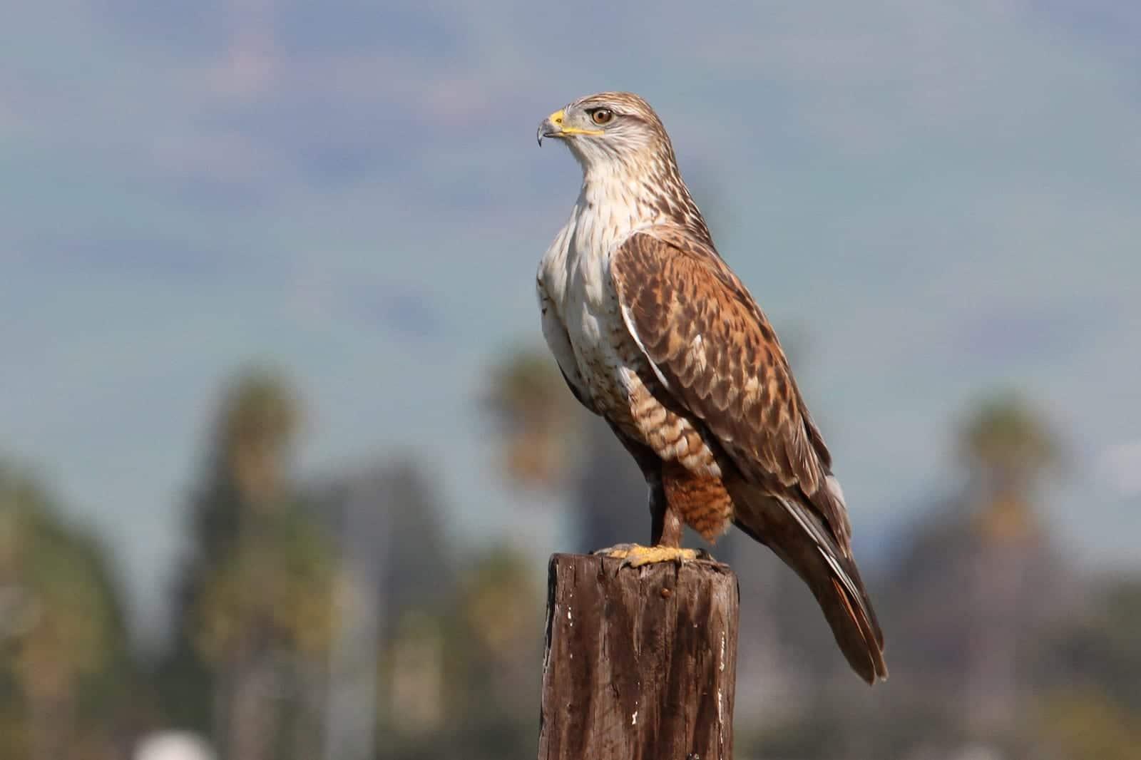 Ferruginous Hawk, CO