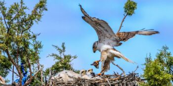 Ferruginous Hawk on Nest
