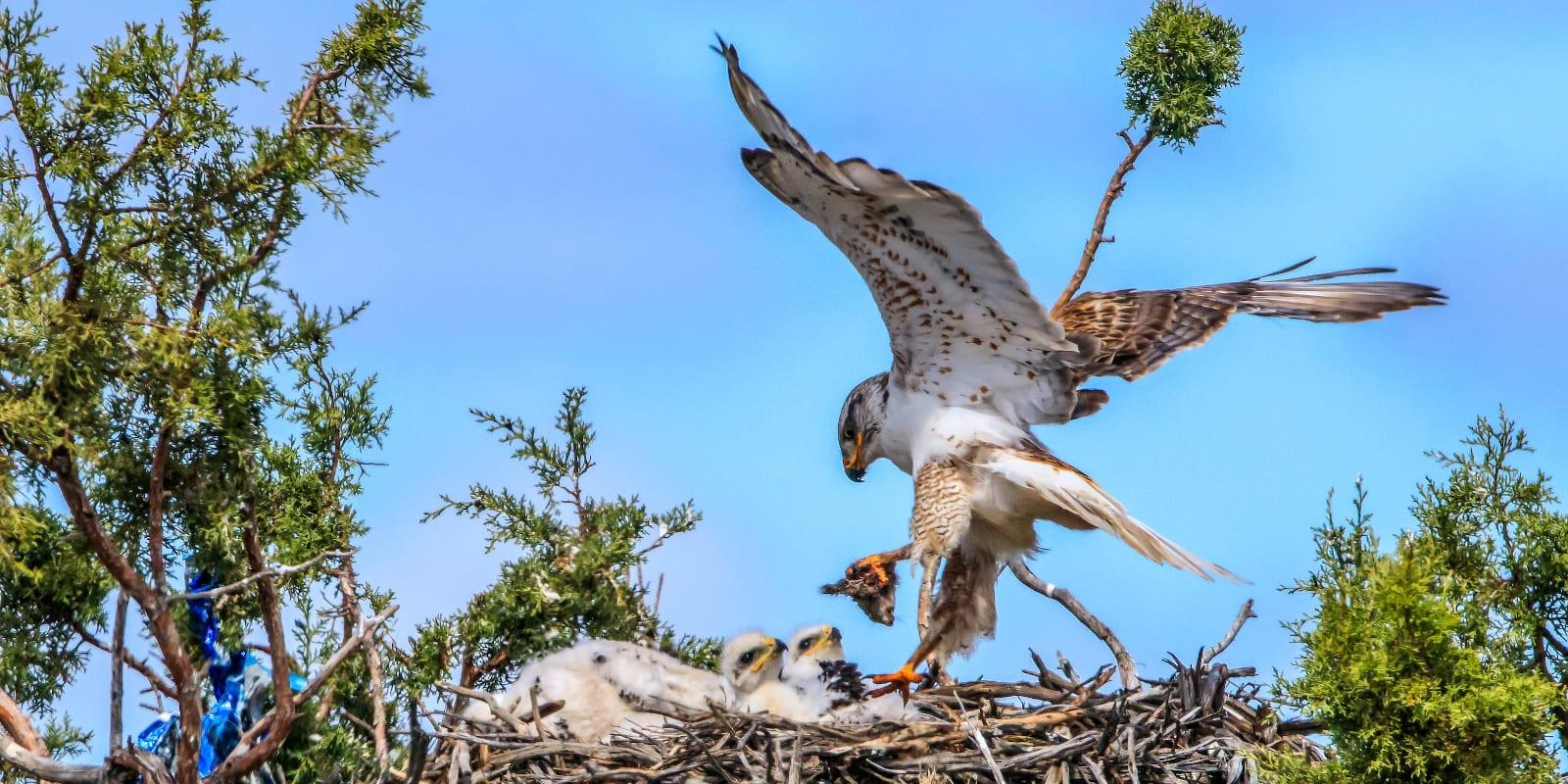Ferruginous Hawk on Nest