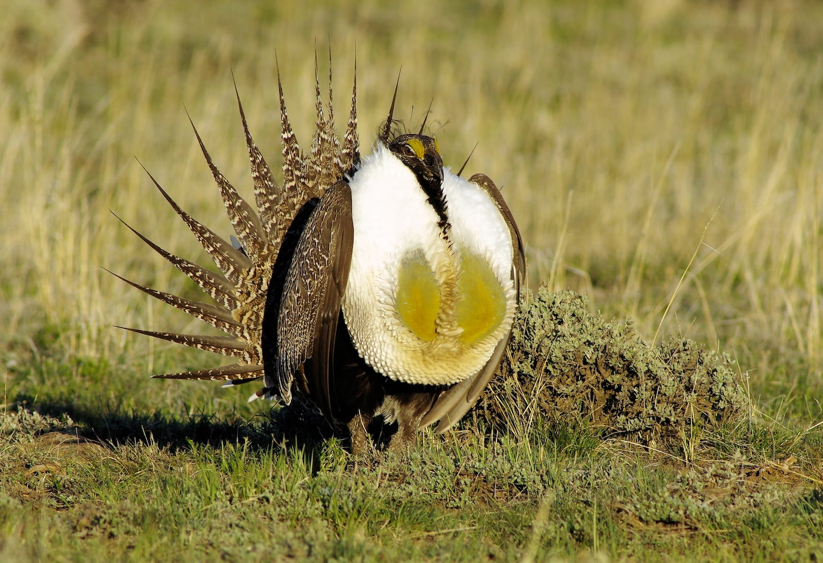 Greater Sage Grouse, CO