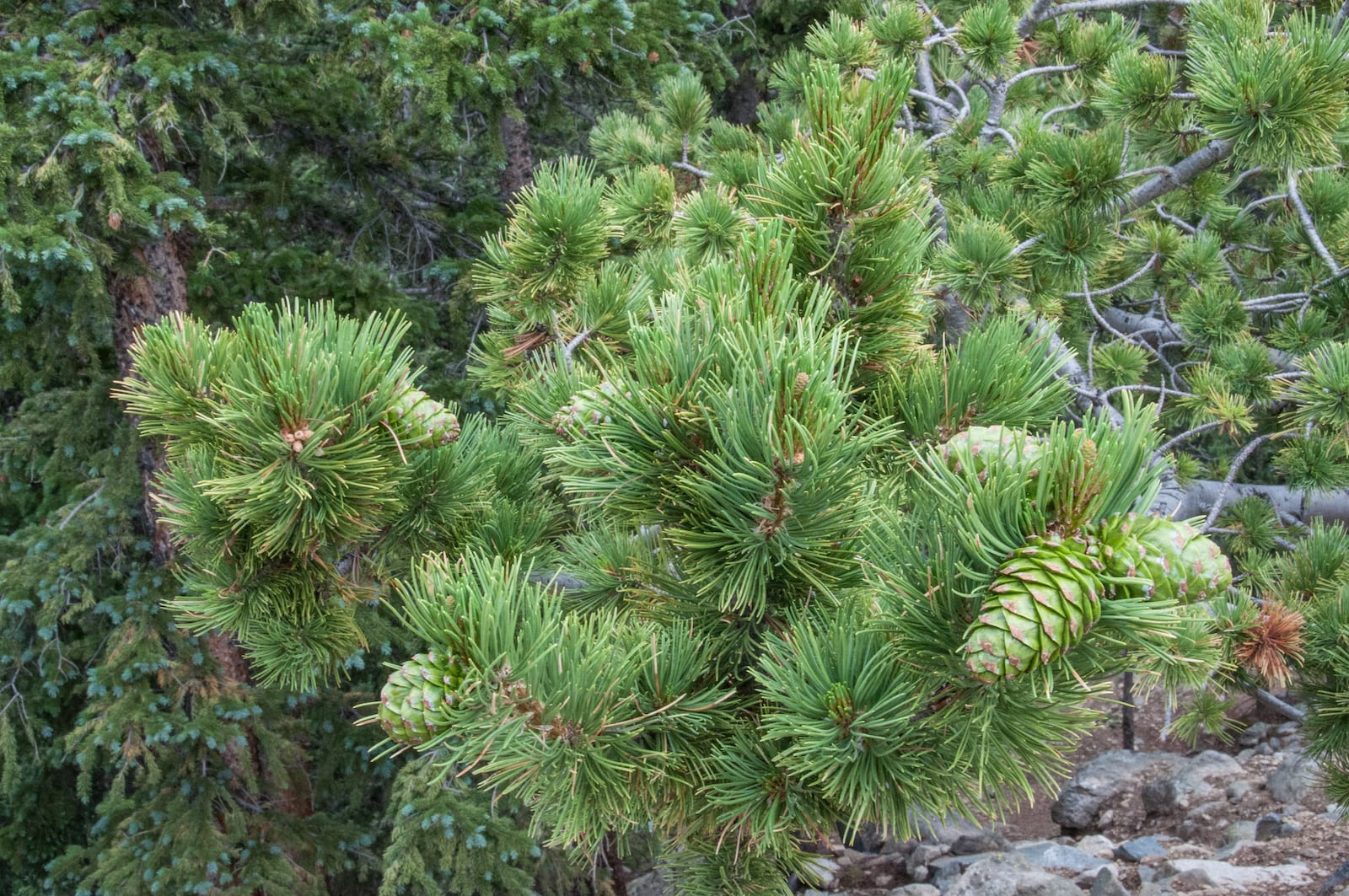 Limber Pine, Colorado