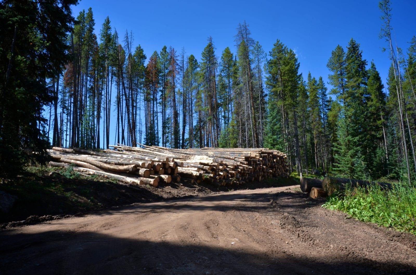Lodgepole Pine, Colorado
