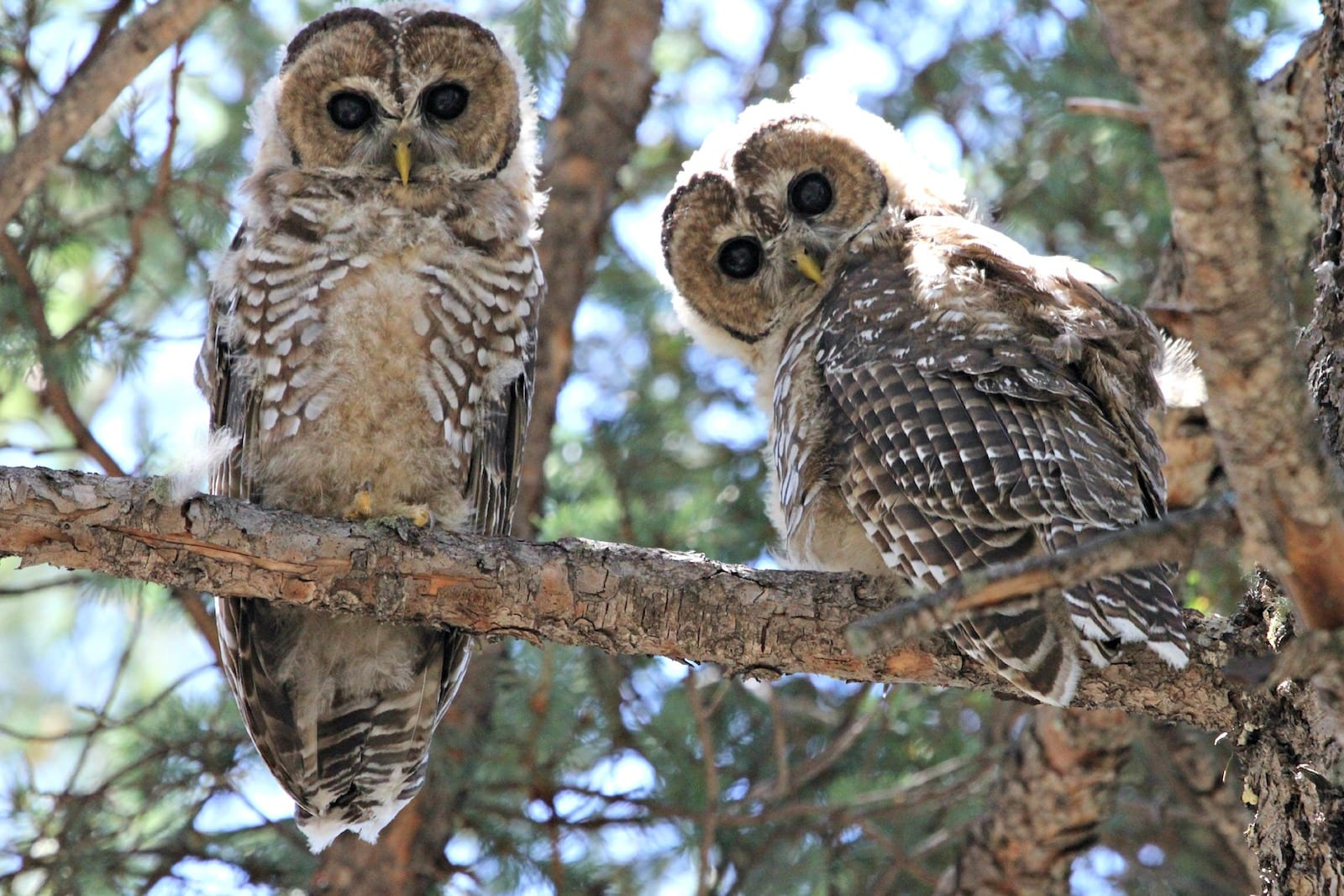 Mexican Spotted Owl, CO