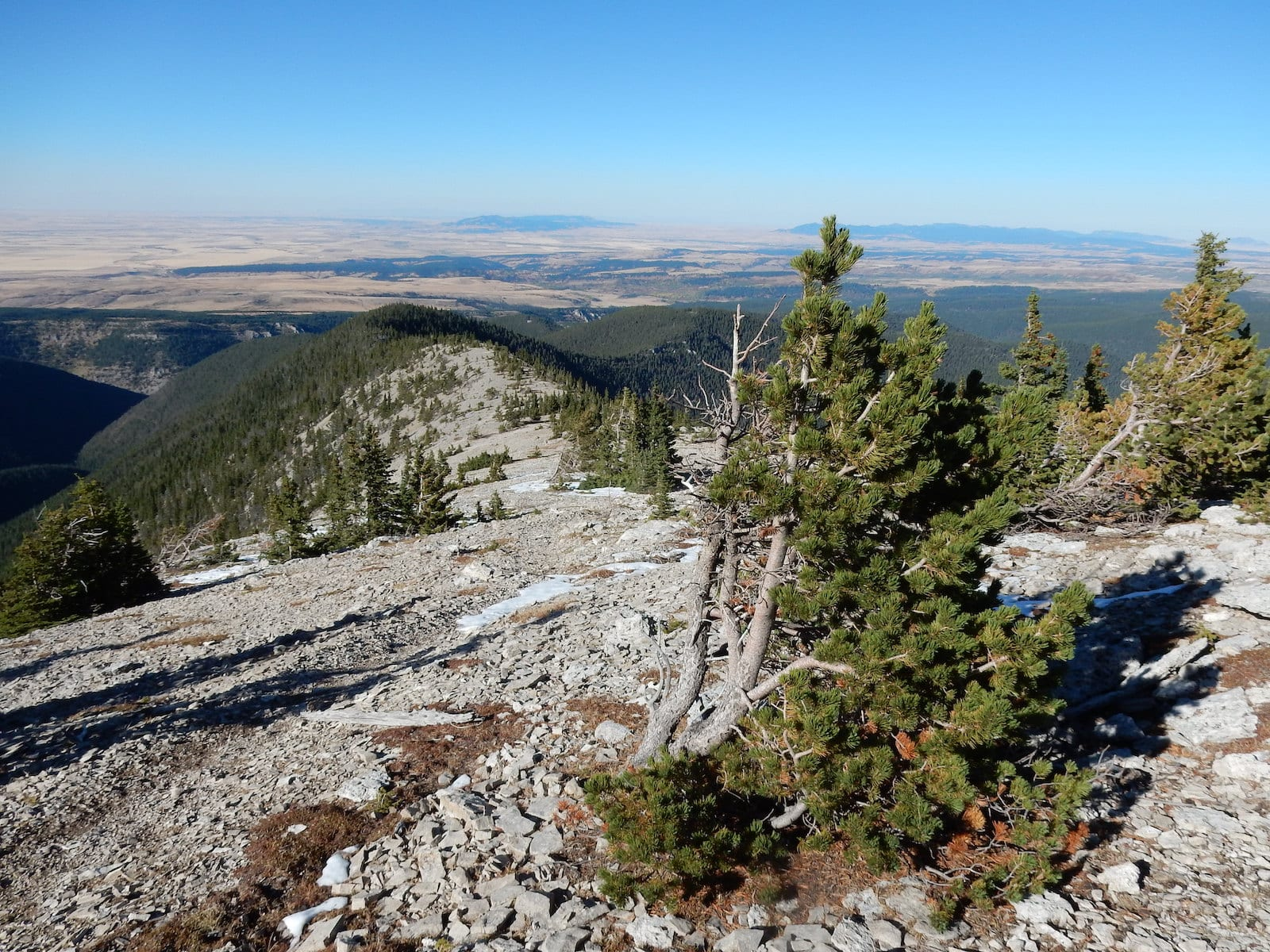 Pinus Flexilis, Colorado