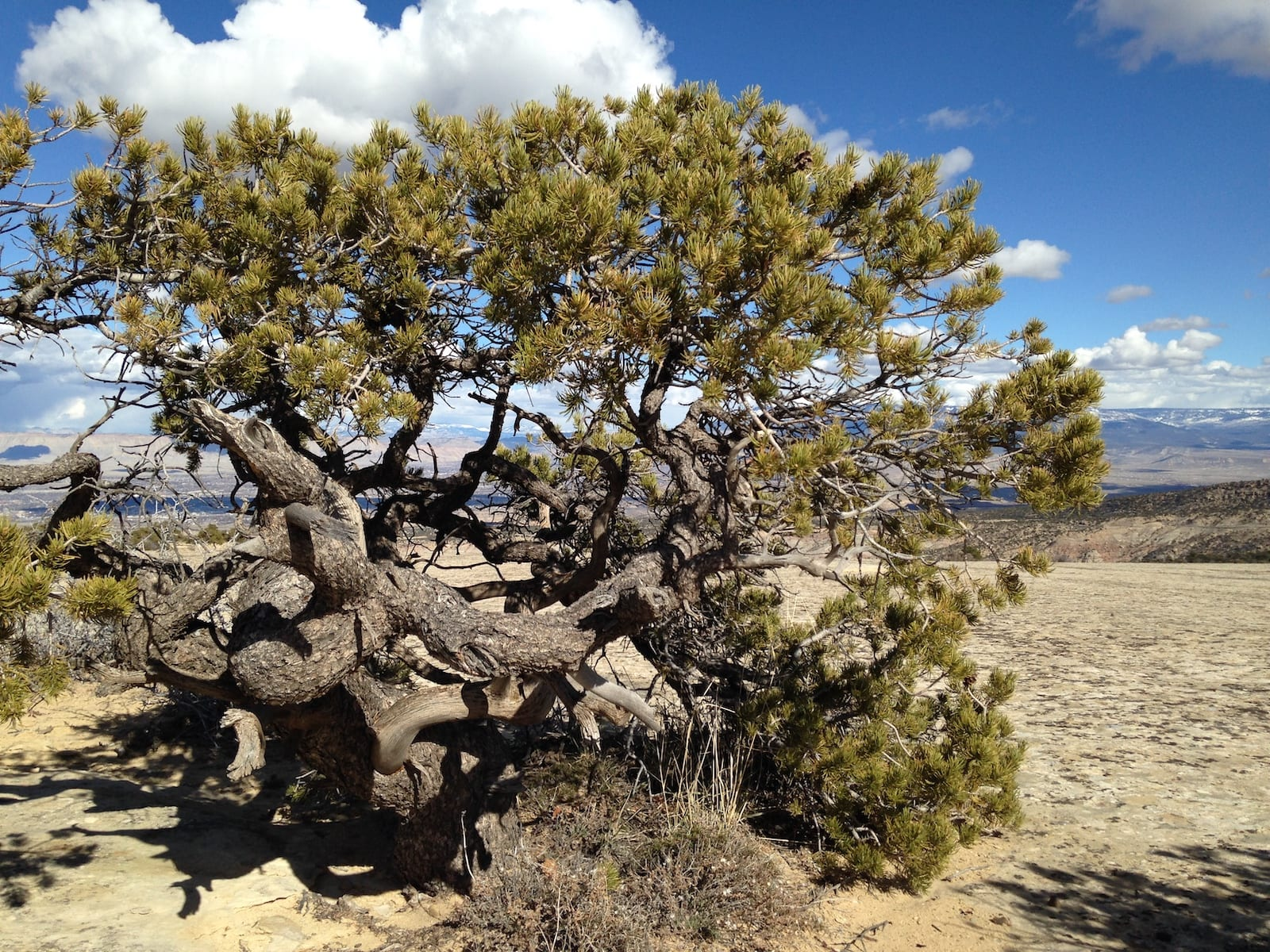 Pinyon Pine, Colorado