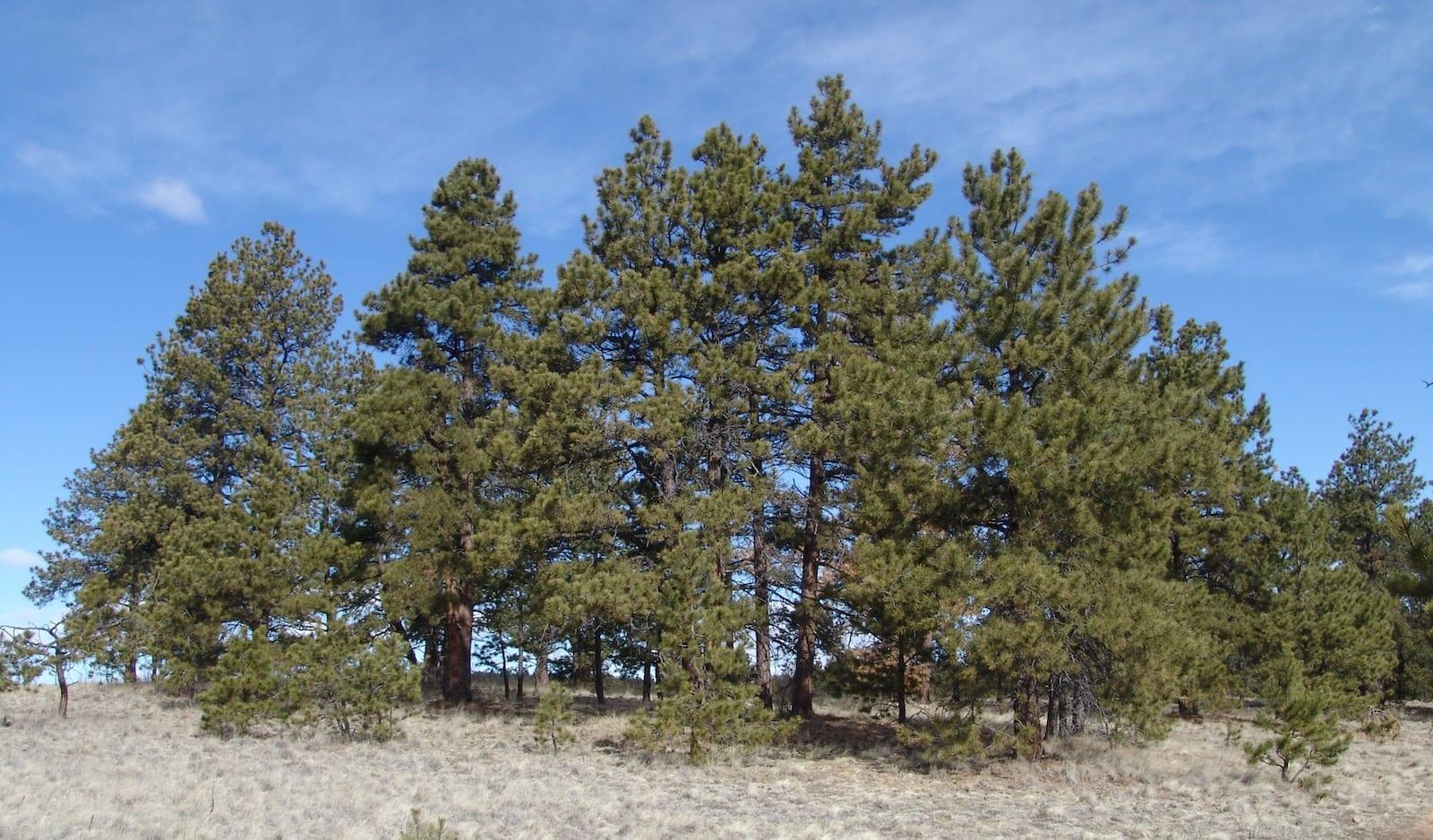 Ponderosa Pine, Colorado