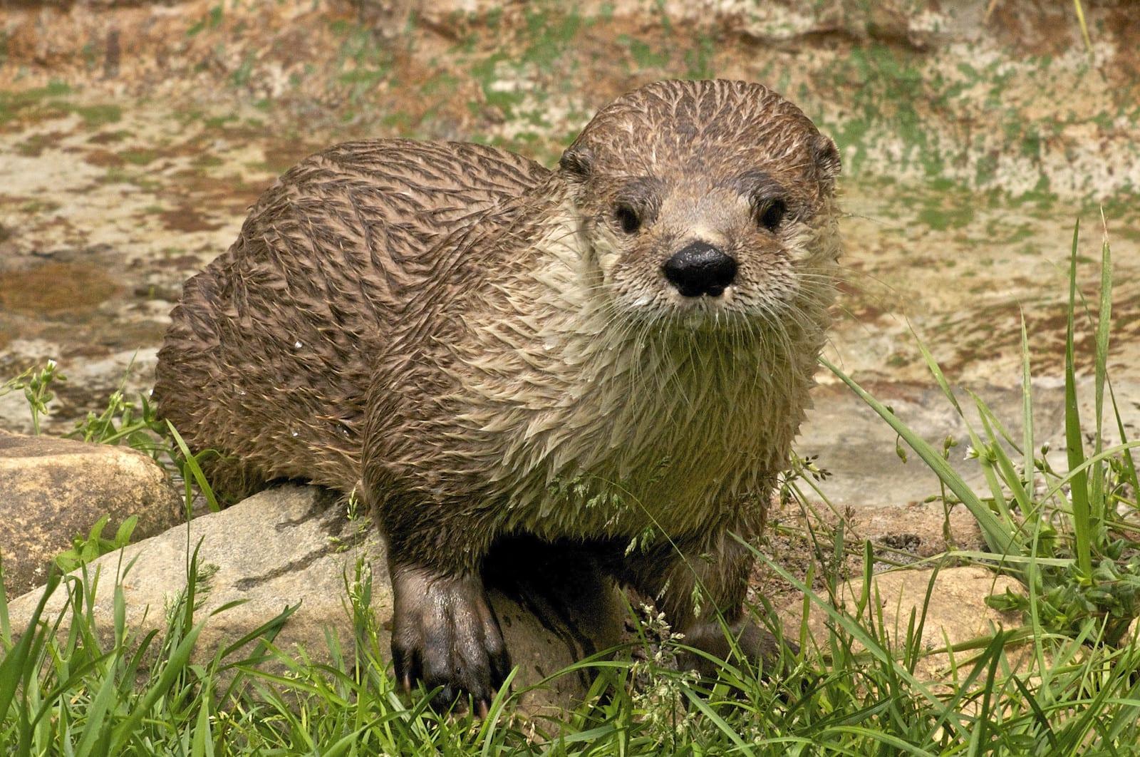 River Otter, CO