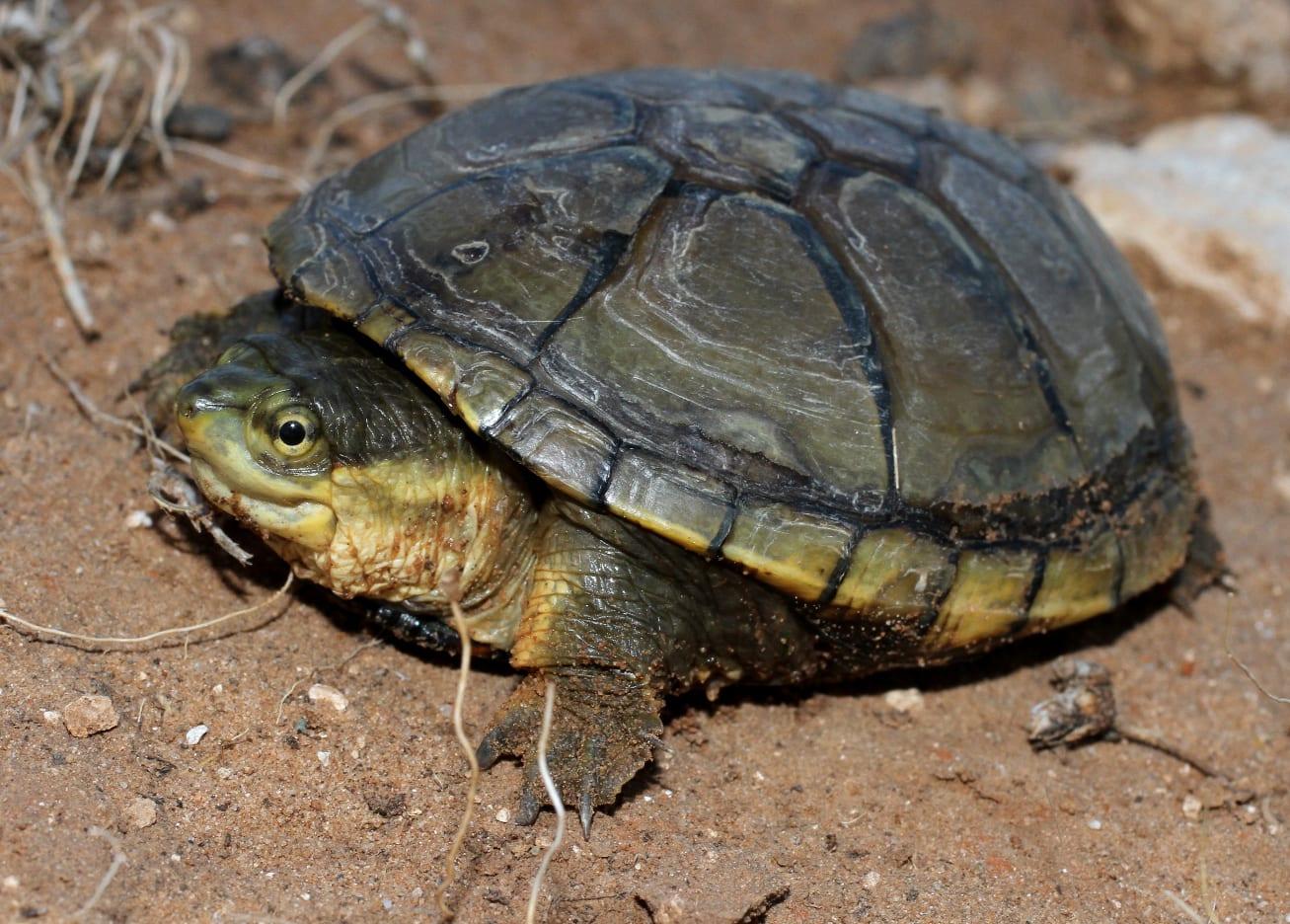 Yellow Mud Turtle, CO
