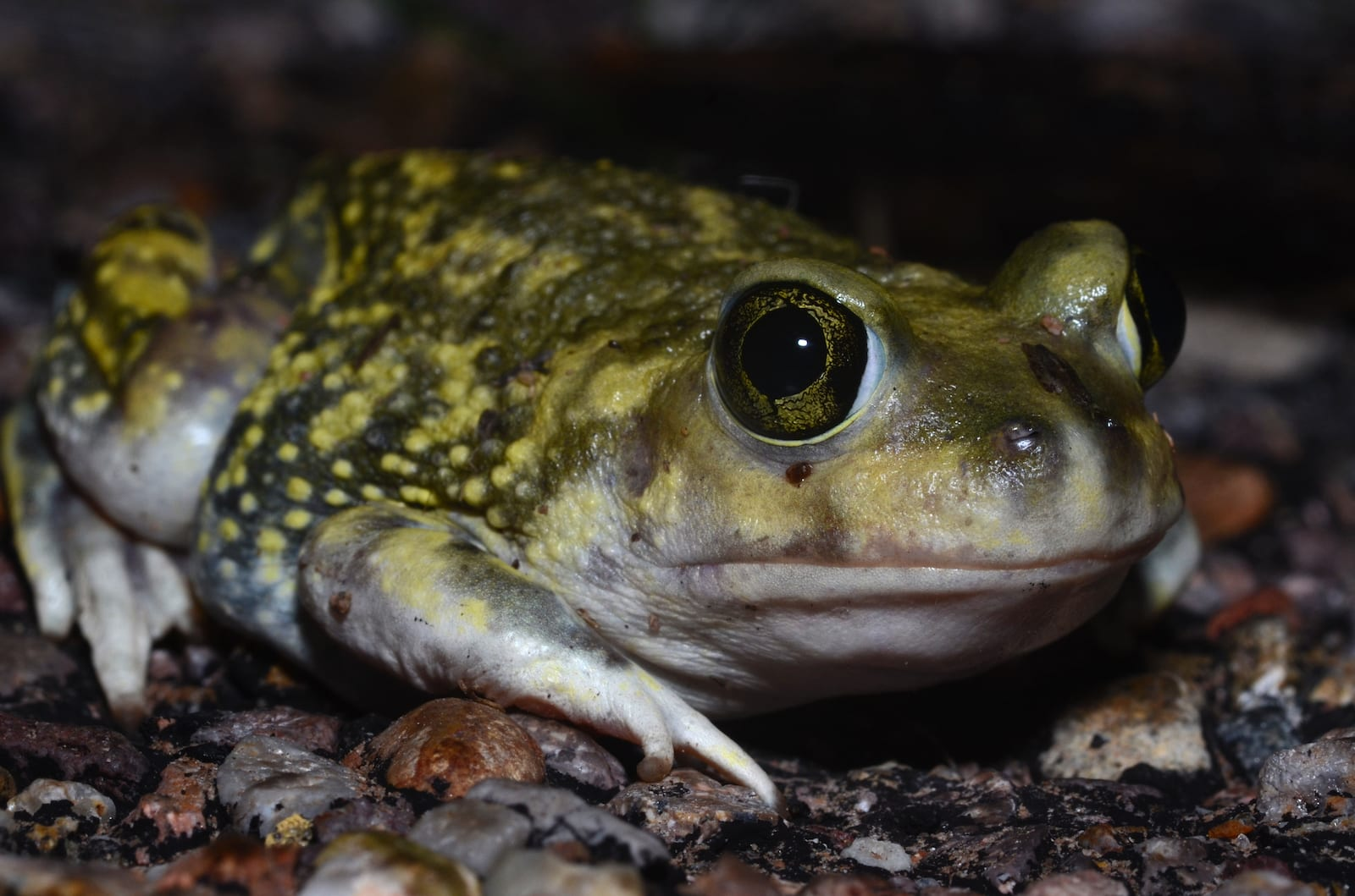 Couch's Spadefoot Endangered Animal