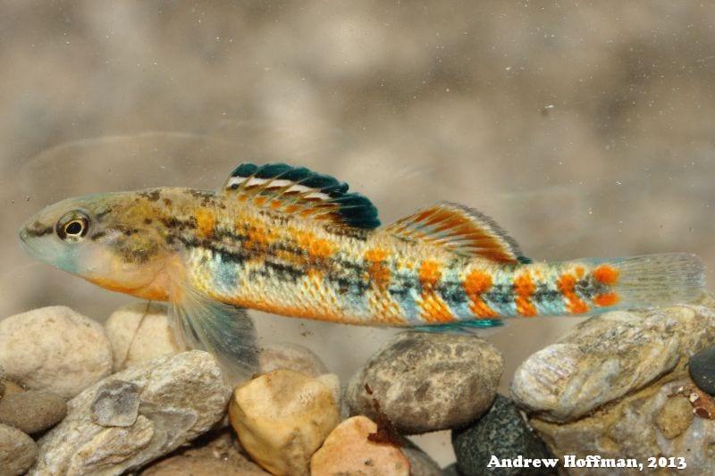 Plains Orangethroat Darter Fish
