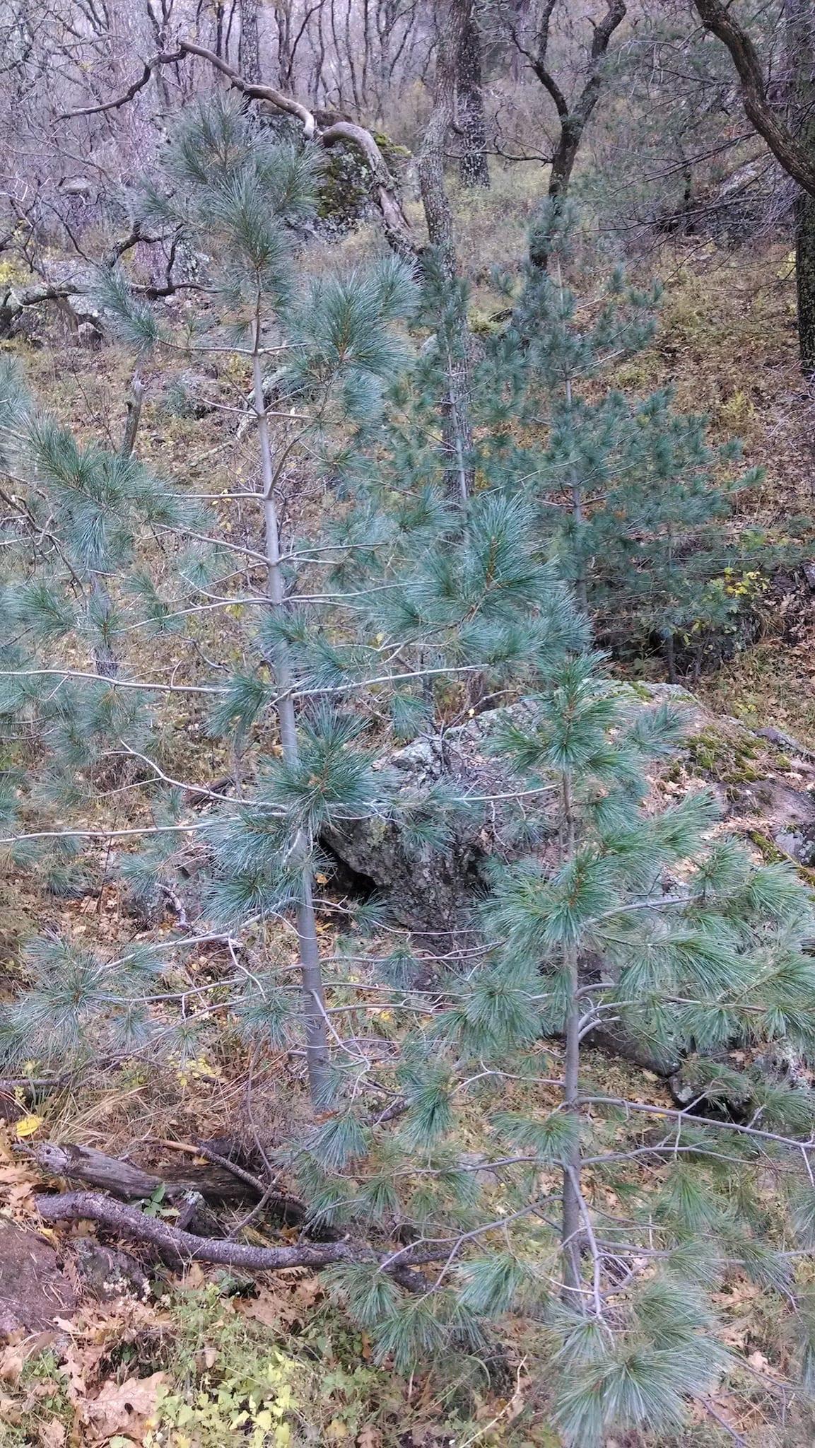 Southwestern White Pine Seedlings