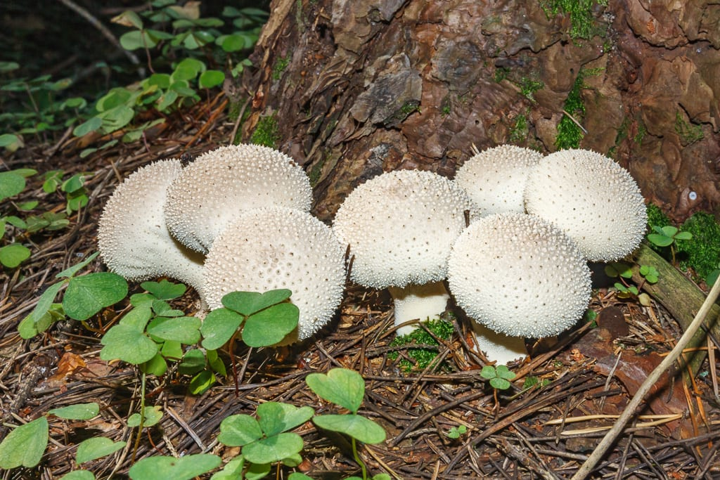 Lycoperdon Perlatum, Colorado
