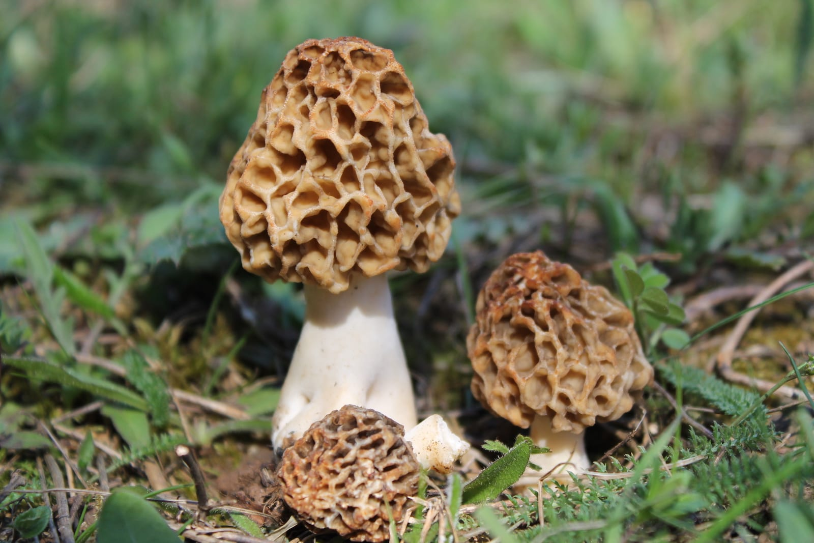 Morchella Esculenta- Colorado