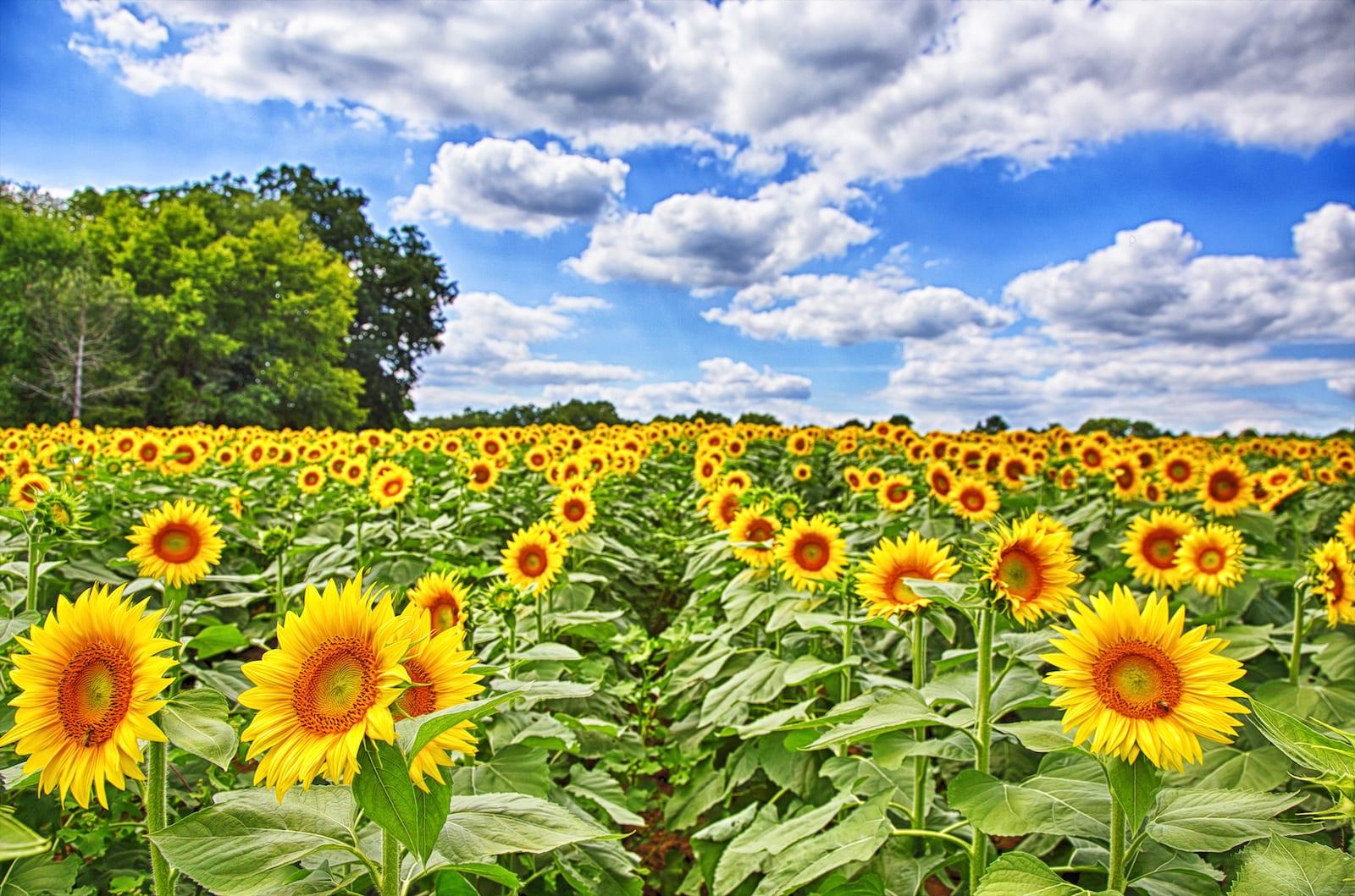 TheSunflower State, Kansas