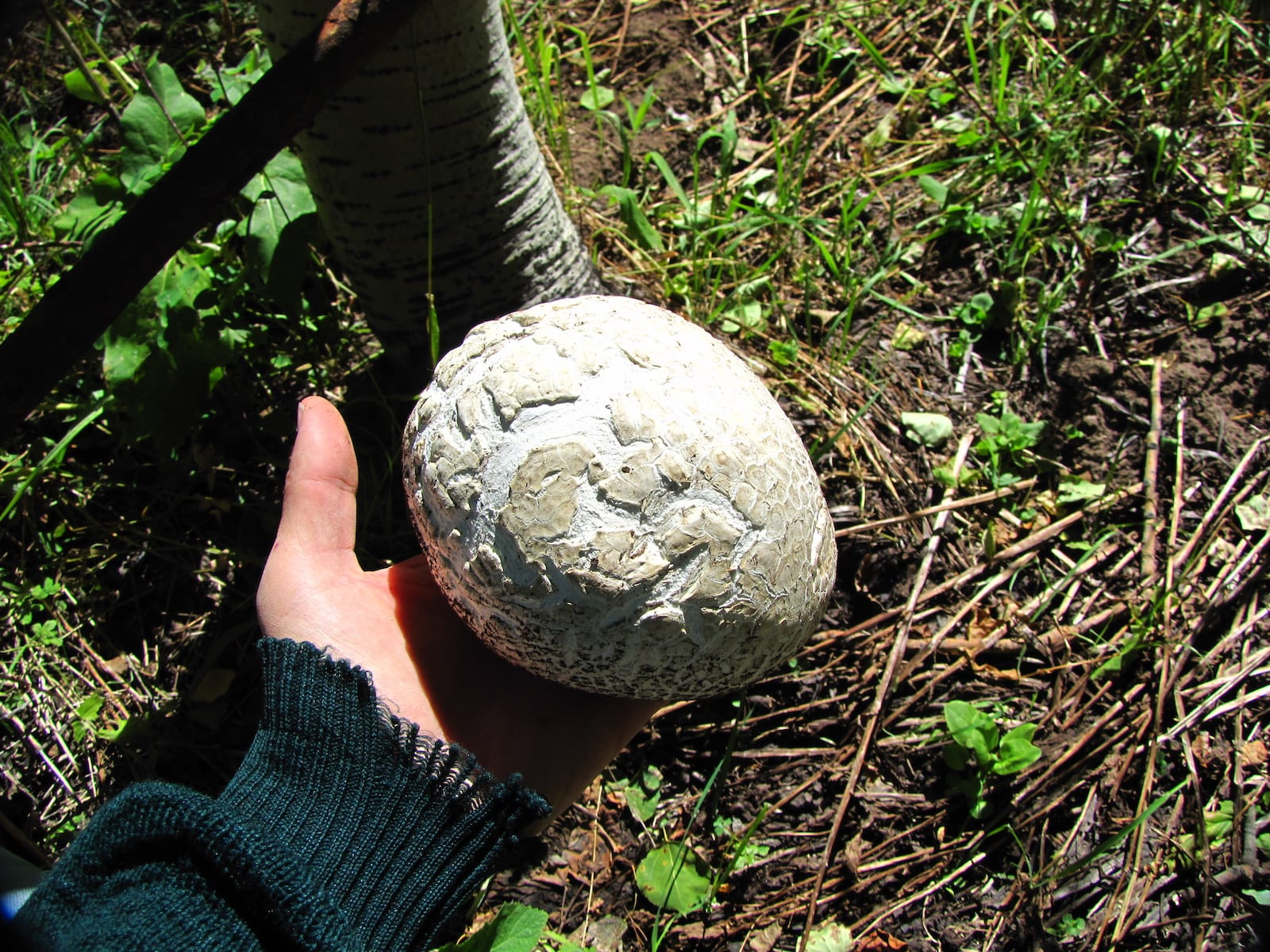Calvatia Booiana Western Giant Puffball Mushroom