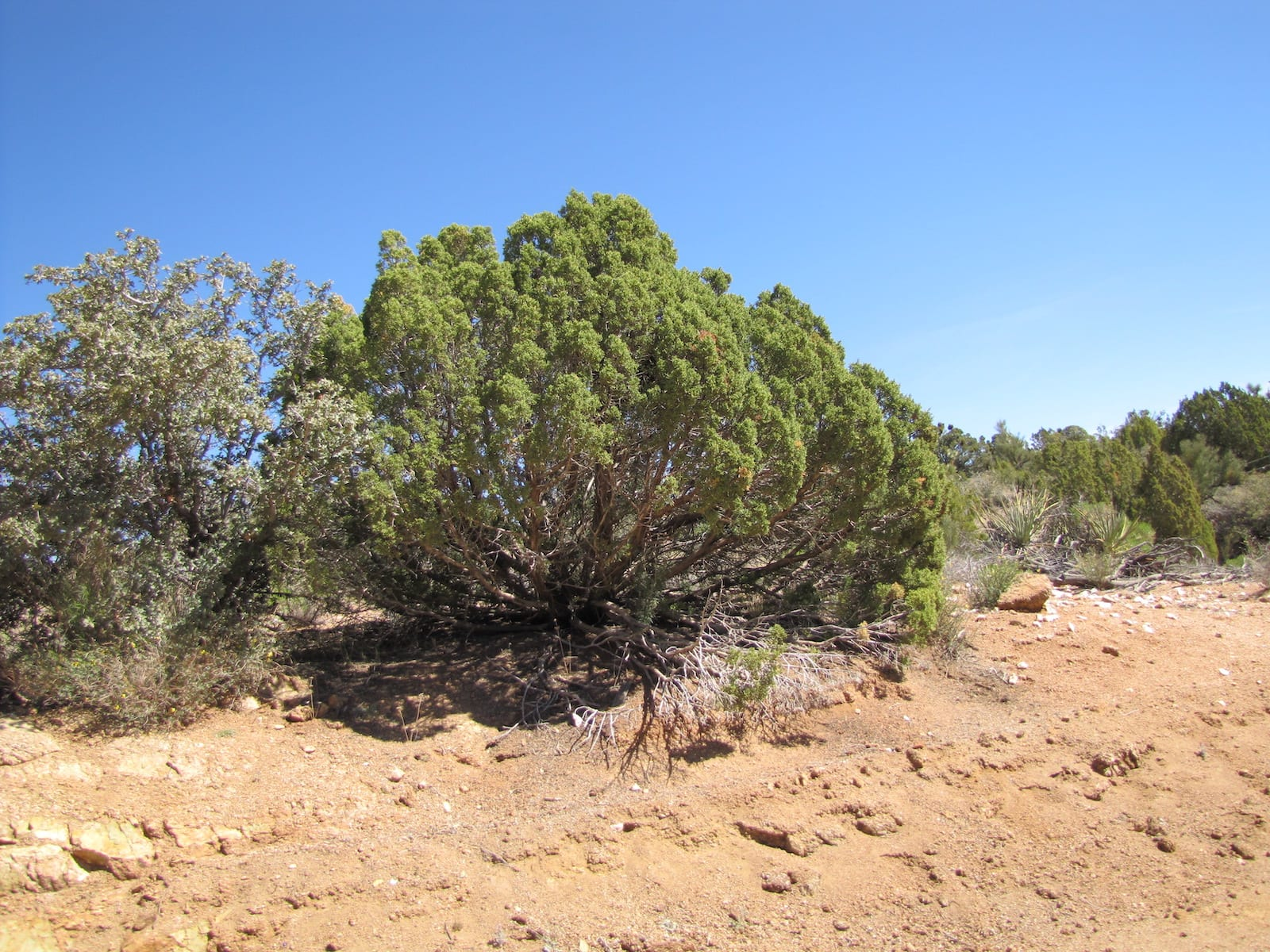 One-Seed Juniper Evergreen