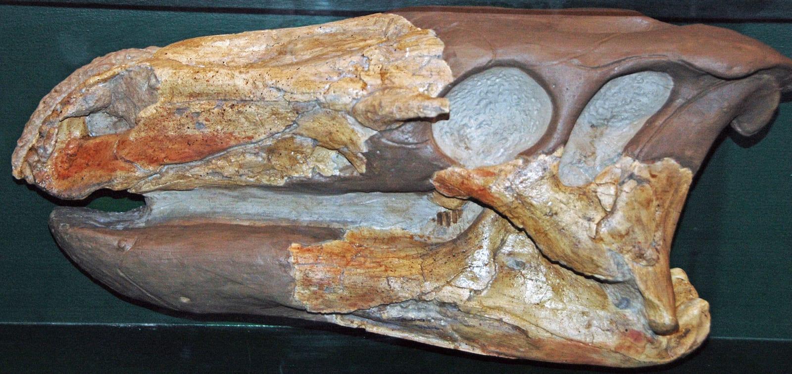 Ornithopod Dinosaur Skull Fossil Garden of the Gods Colorado Springs