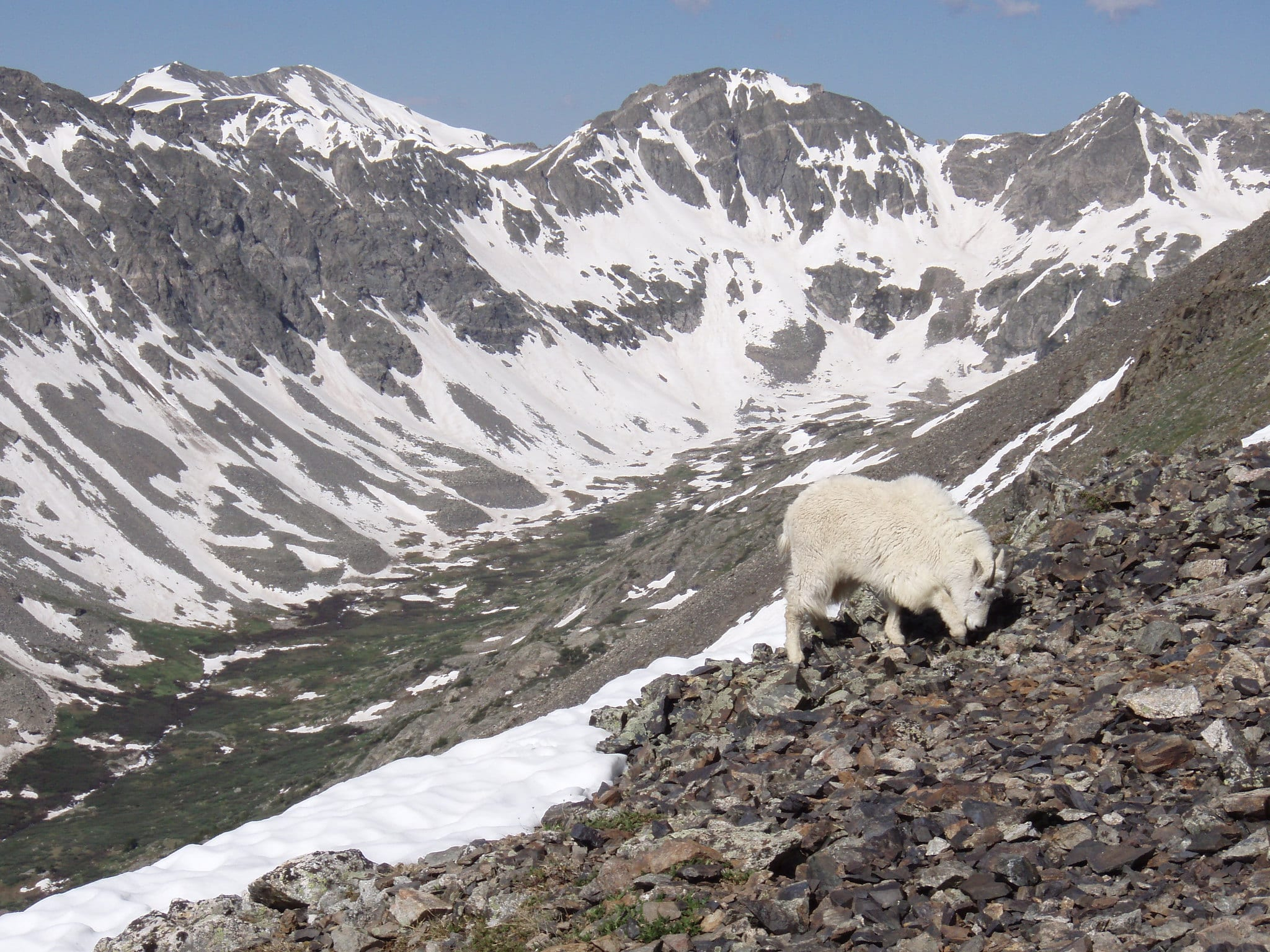 mountain goat quandary peak breckenridge