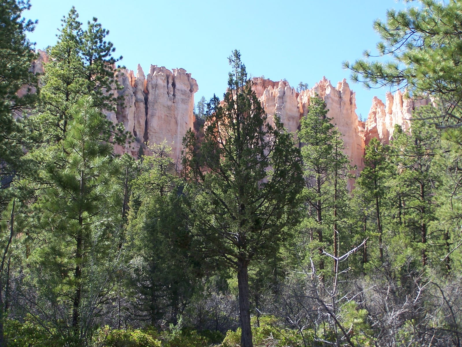 Rocky Mountain Juniper Evergreen Tree