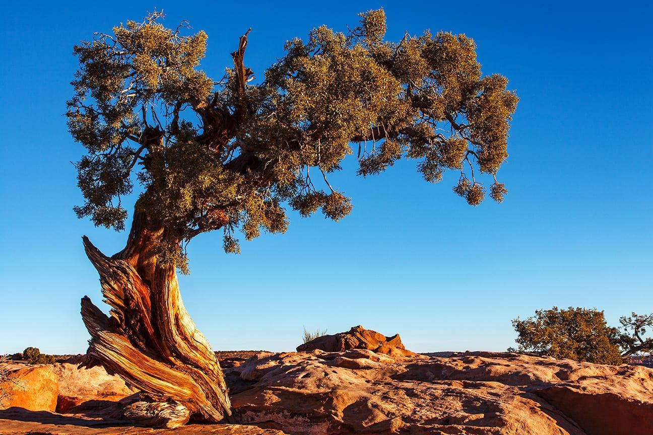 Utah Juniper Evergreen Tree Sunrise