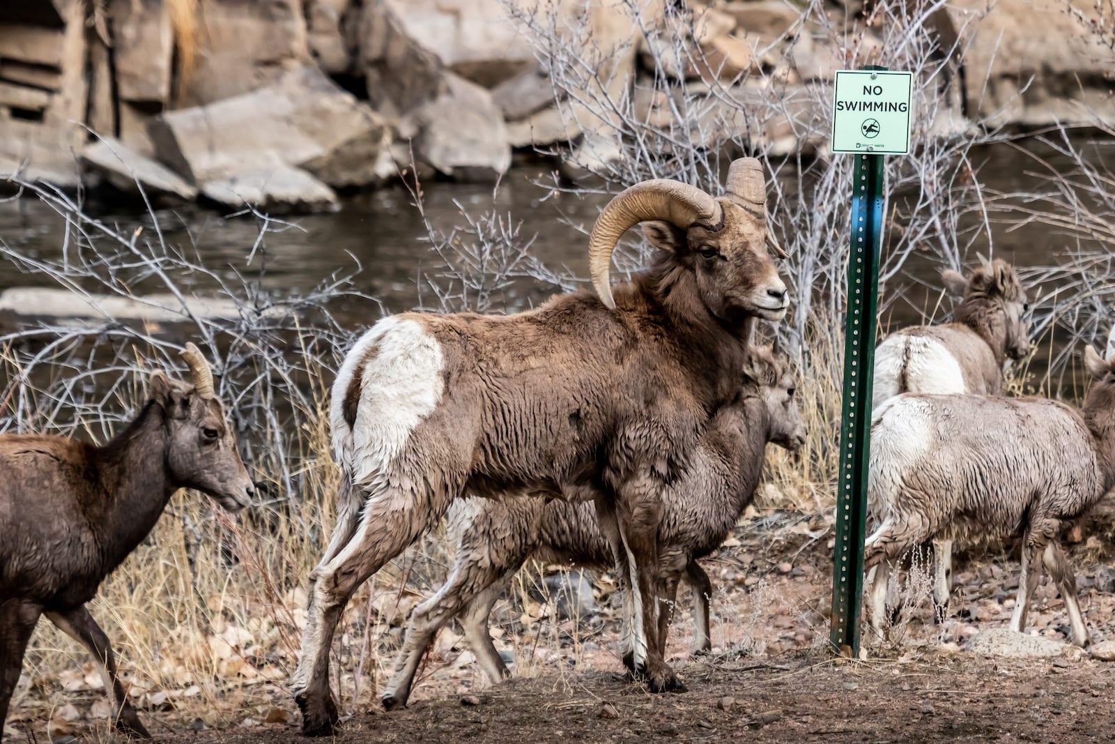 Bighorn Sheep in Waterton Canyon. Denver, Colorado