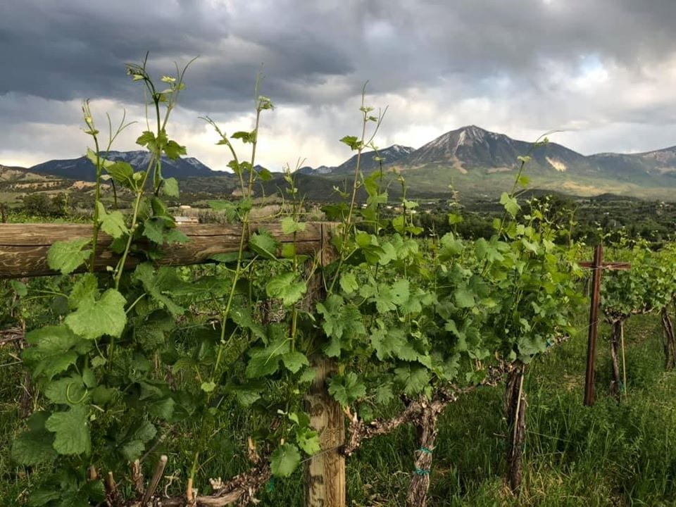 vineyard at Qutori Wines Paonia Colorado