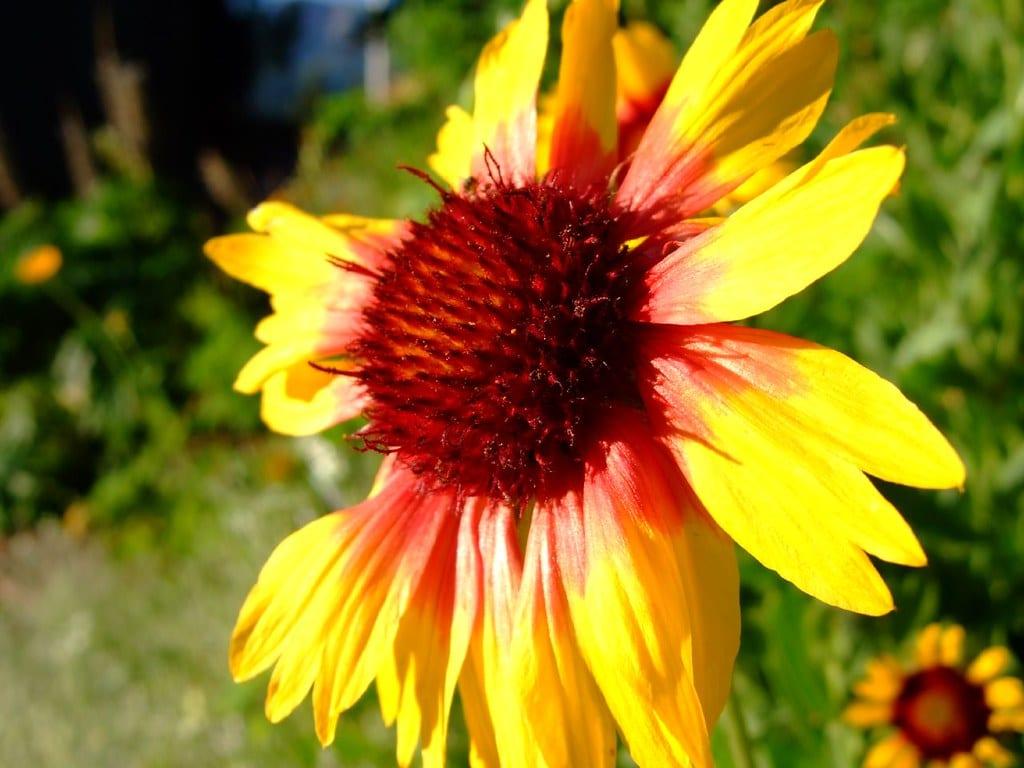 blanketflower in colorado