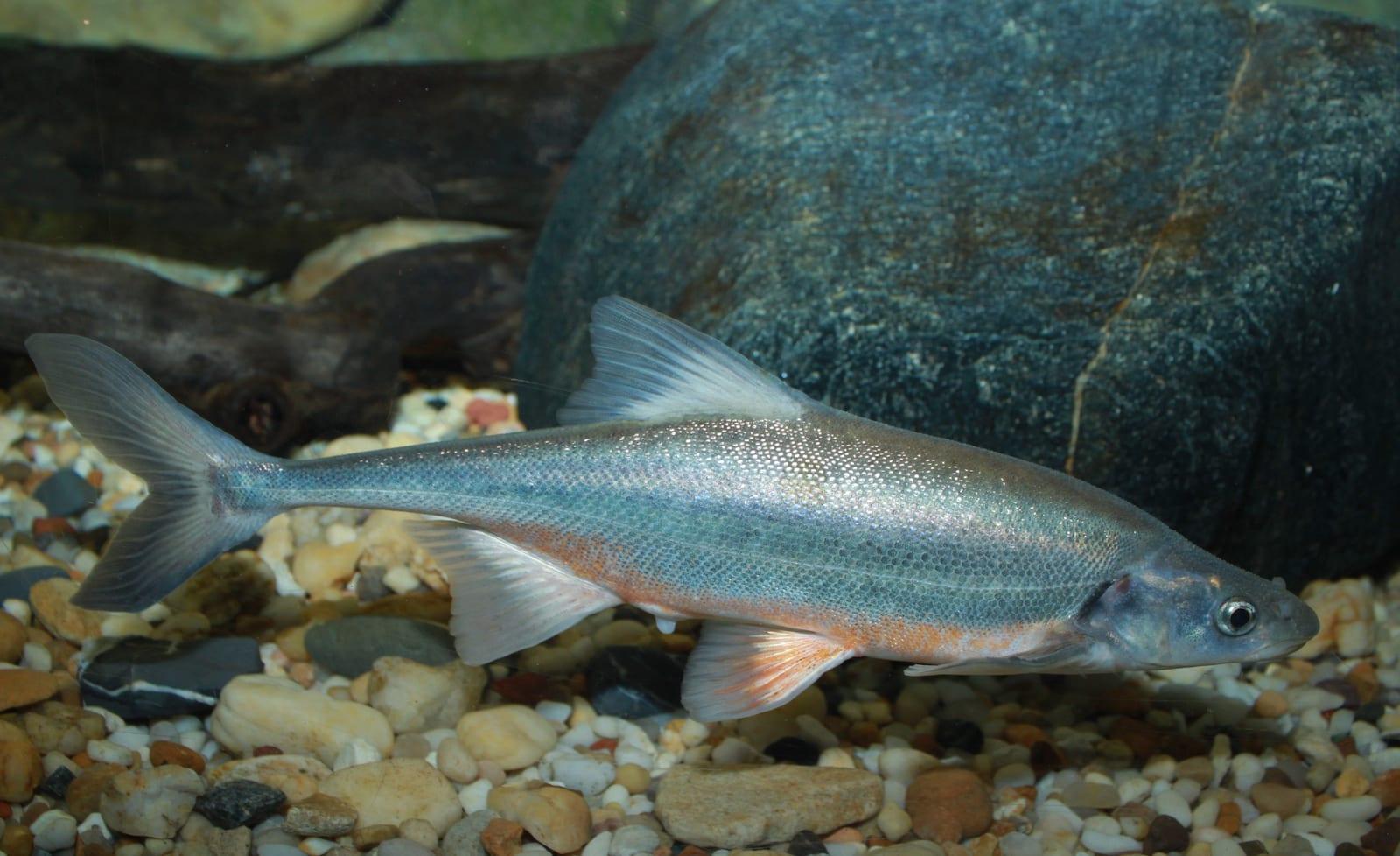 Bonytail Chub Fish