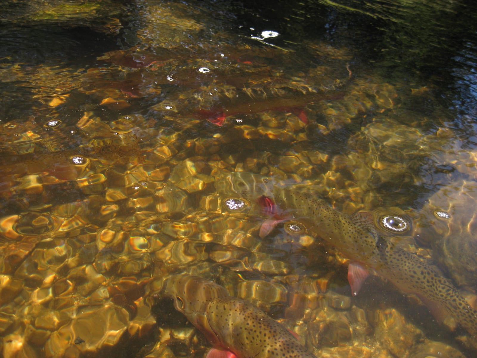 Colorado Greenback Cutthroat Trouts in Remote Mountain Creek