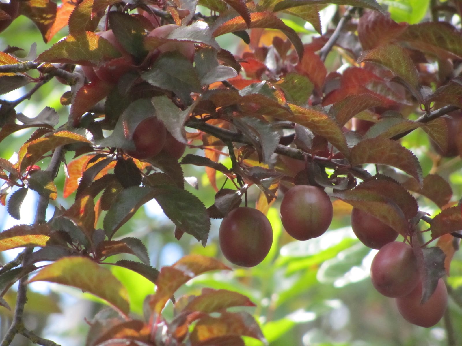 Foraging Wild Plums