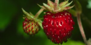 Foraging Food Wild Strawberries