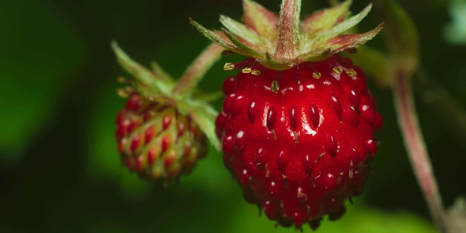 Foraging Food Wild Strawberries