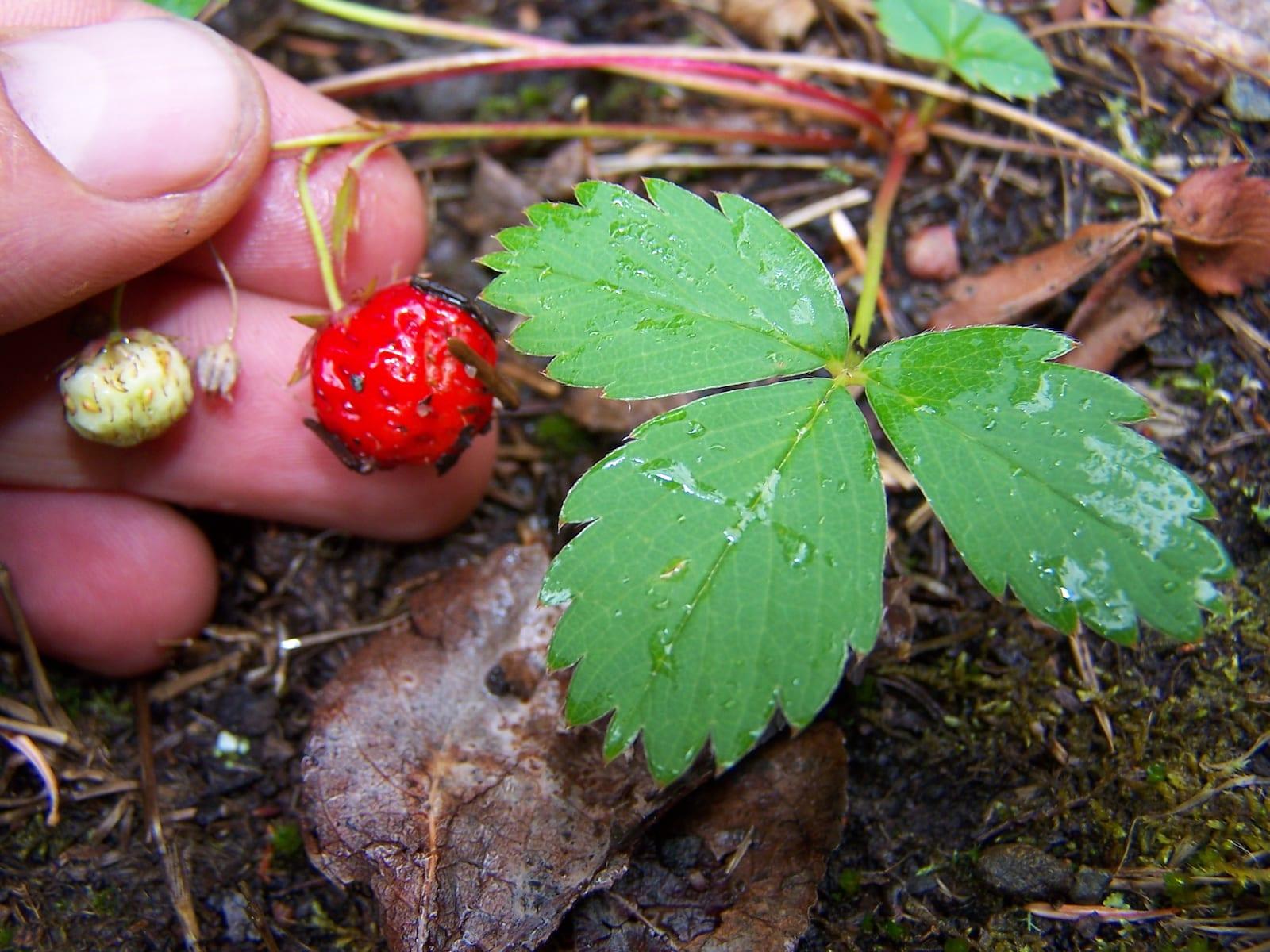 Foraging Wild Strawberry Sangre de Cristo Mountains Colorado