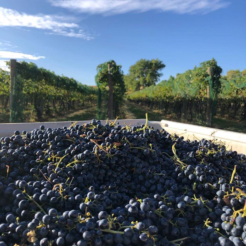 grapes from mesa park vineyards
