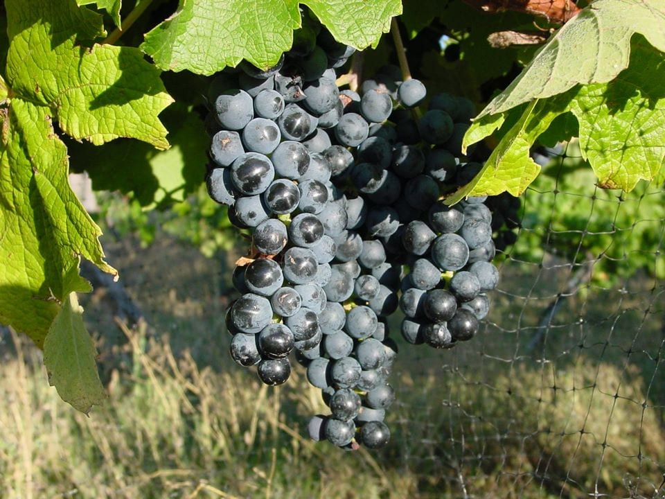 grapes on the vine at leroux creek inn