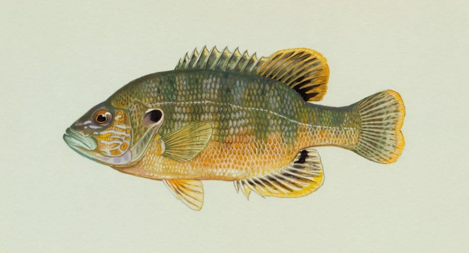 Green Sunfish Drawing