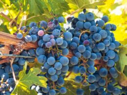 growing grapes on a vineyard