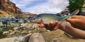 Humpback Chub Upper Colorado River in Colorado
