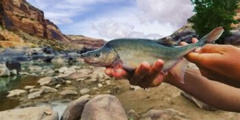 Humpback Chub Upper Colorado River in Colorado
