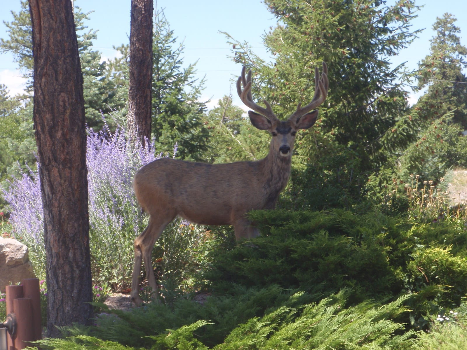 Larkspur CO Mule Deer