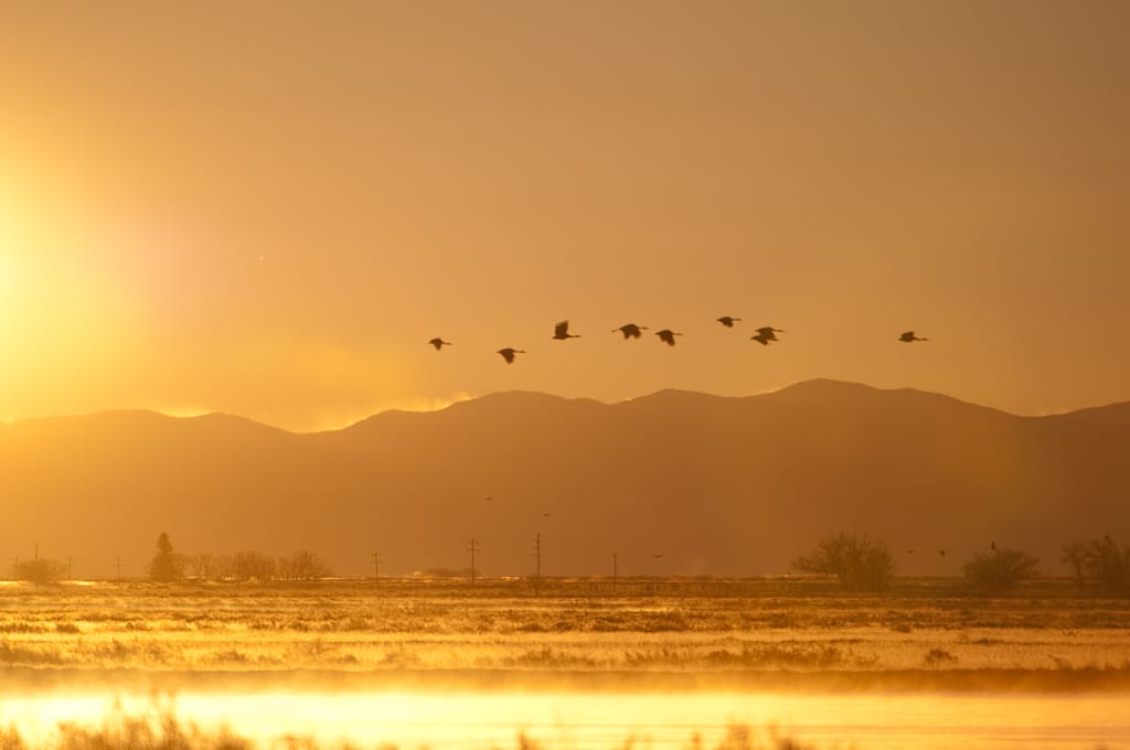 Monte Vista CO Sandhill Cranes Sunrise