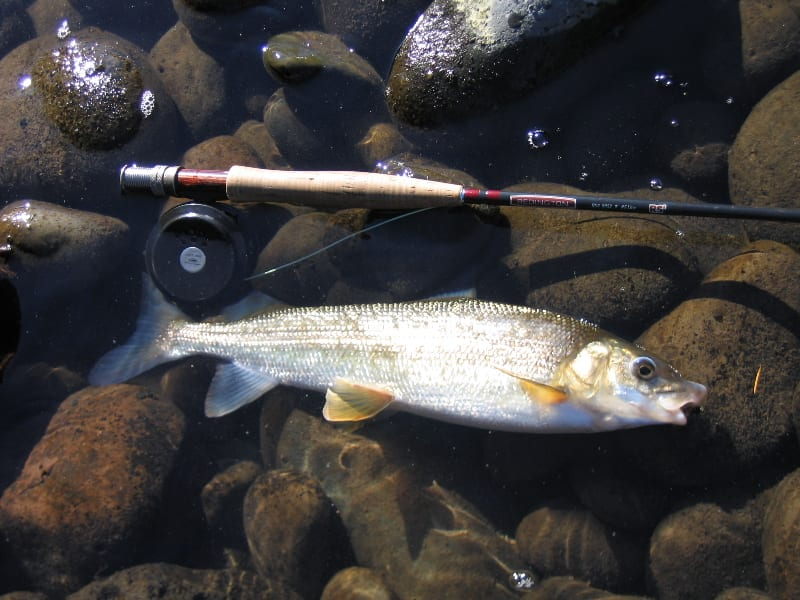 Mountain Whitefish Fishing Rod
