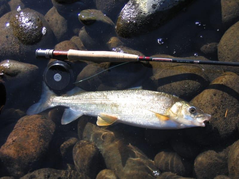Mountain Whitefish Fishing Rod
