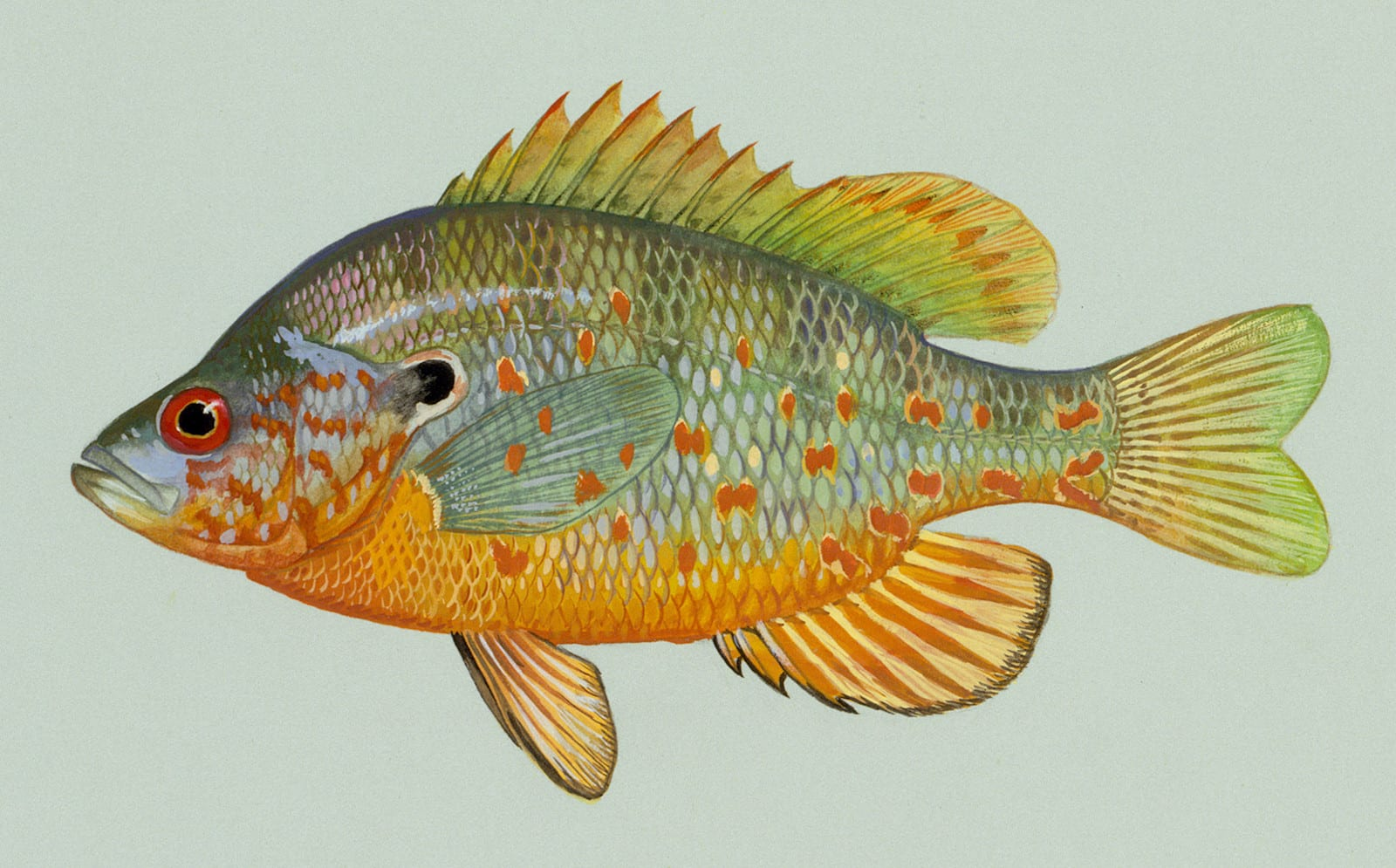 Orangespotted Sunfish Drawing