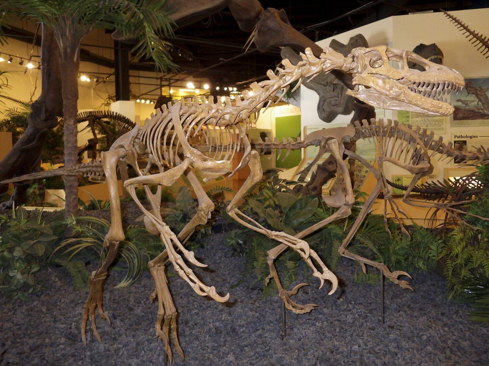 Raptor Skeletons Dinosaur Resource Center
